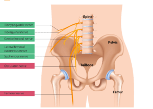 different nerves of the hip and pelvis