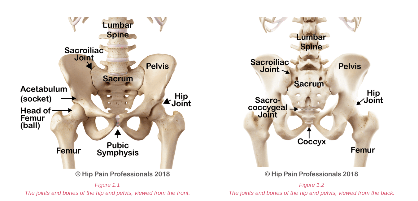 Joints and bones of the hip and pelvis