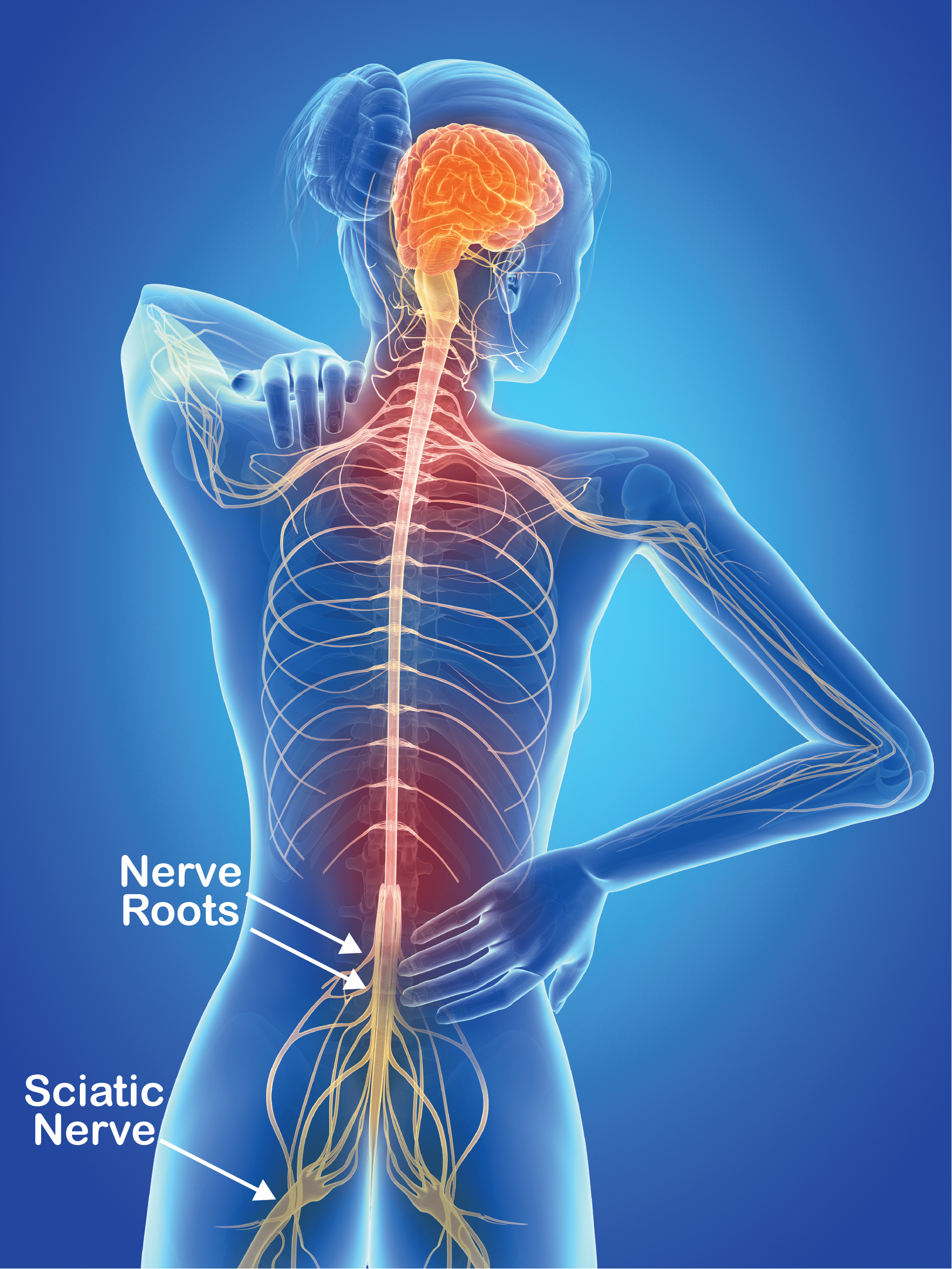The Nervous System, demonstrating nerve roots emerging from the spine and the sciatic nerve that develop beyond the spine