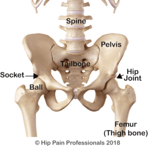 bones of the hip and pelvis including the hip joint