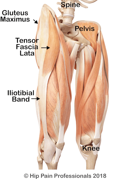 Superficial Layer of Hip Abductor Muscles Gluteus Maximus and TFL