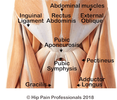 Illustration of the muscles at the front of the pelvis and abdomen. Muscle attachments around the pubic symphysis and abdomen