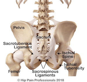 Large ligaments of the back of the pelvis including the sacrotuberous and sacrospinous ligaments