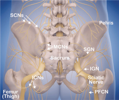buttock nerves, nerves of the posterior pelvis including clonal nerves and gluteal nerves